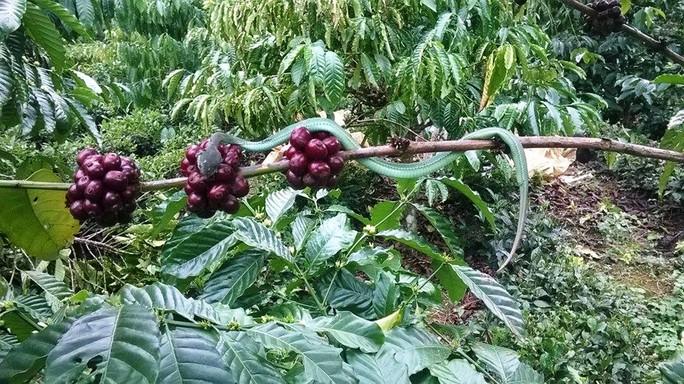 Rắn lục đuôi đỏ thường ngụy trang trên cành cây rậm rạp khó phát hiện.