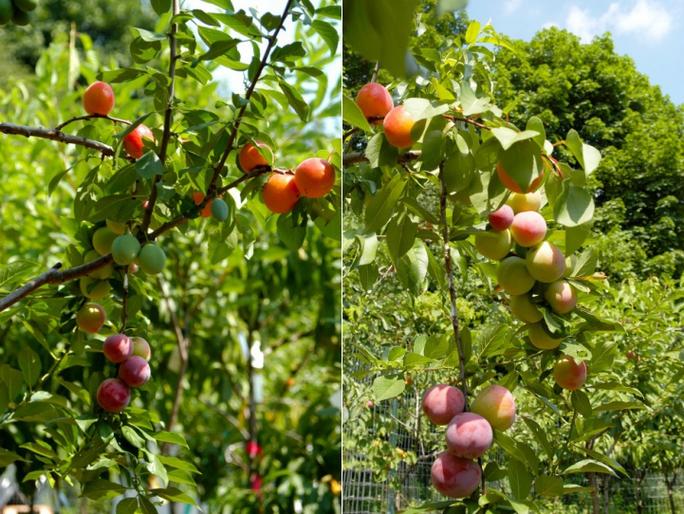 Nhiều loại quả xuất hiện trên một cây