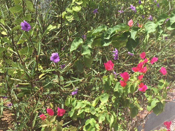 Chiều tím và hoa giấy trên đảo Song Tử Tây