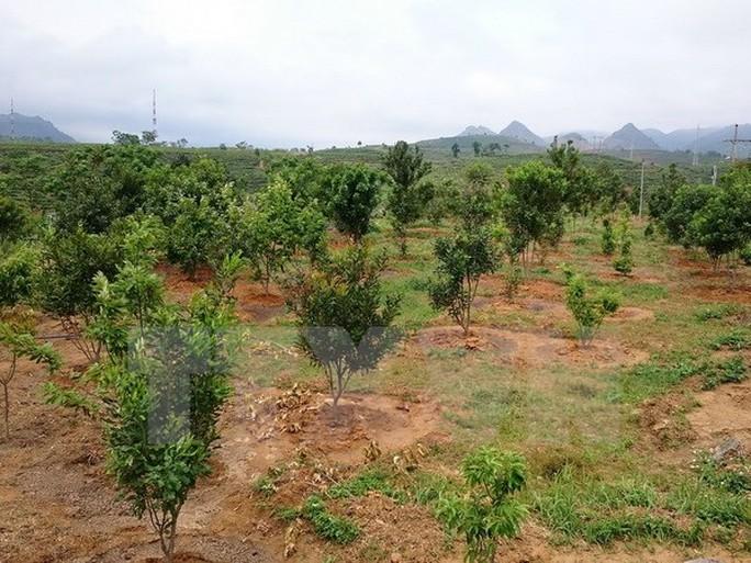 Một vườn cây mắcca. (Ảnh: Nguyễn Duy/TTXVN)