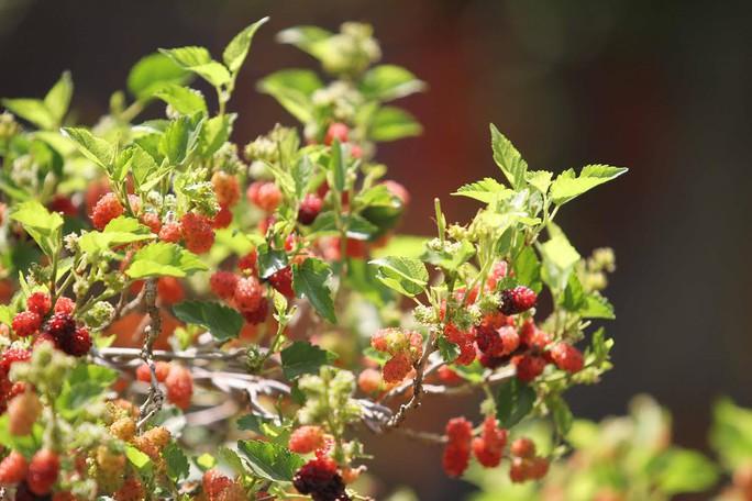 Dâu tằm bonsai chi chít trái tại khu hoa, quả