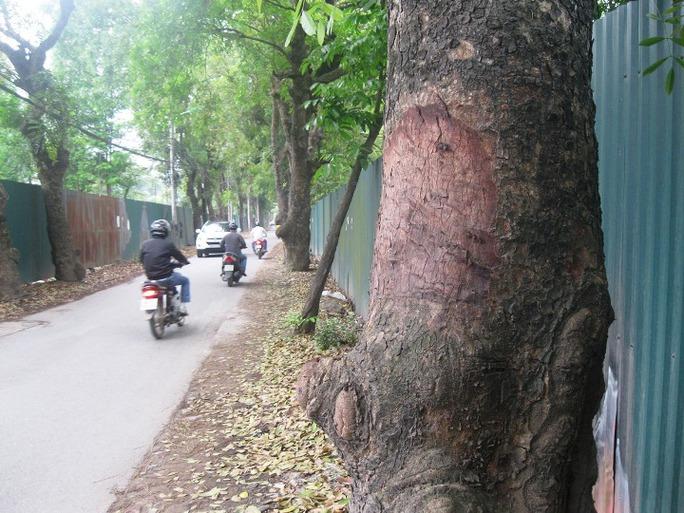 Hàng loạt cây xà cừ trên đường phố Hà Nội vẫn bị đẽo vỏ một cách bí ẩn dù công an đã vào cuộc