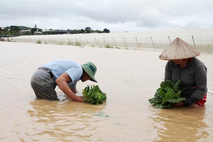Gấp rút thu hoạch rau chạy lũ, vớt vát chút đỉnh trong lúc thiệt hại.