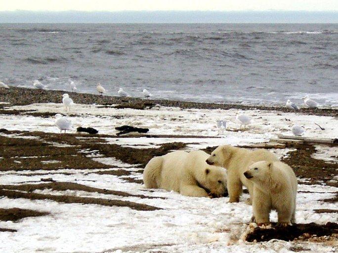 Nhiệt độ Bắc Cực đang tăng cao bất thường. Ảnh: U.S. FISH AND WILDLIFE SERVICE