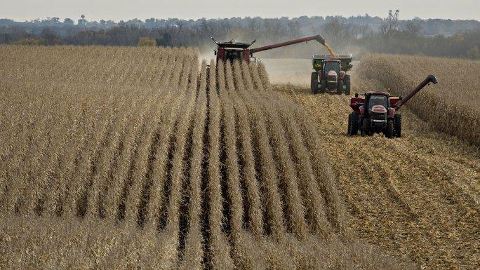 Trung Quốc thi hành chính sách quản lý hạn ngạch nhập khẩu ngô, gạo và lúa mì của Mỹ. Ảnh: BLOOMBERG