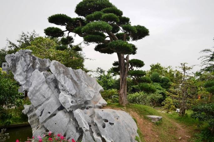 Cây tùng la hán có dáng trực, tuổi đời 200 năm mà nhà Báo Sử Trường Sơn cho là cây quý nhất trong vườn