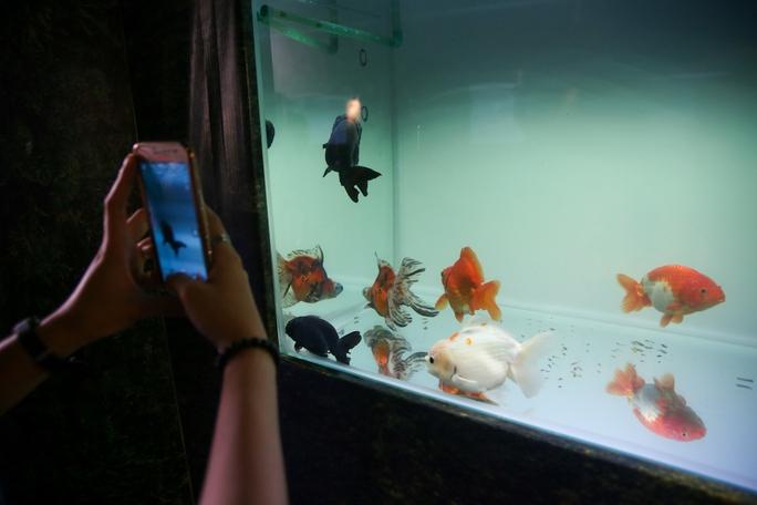 Khách tham quan hầu hết đều dùng điện thoại chụp lại các loài cá cảnh.