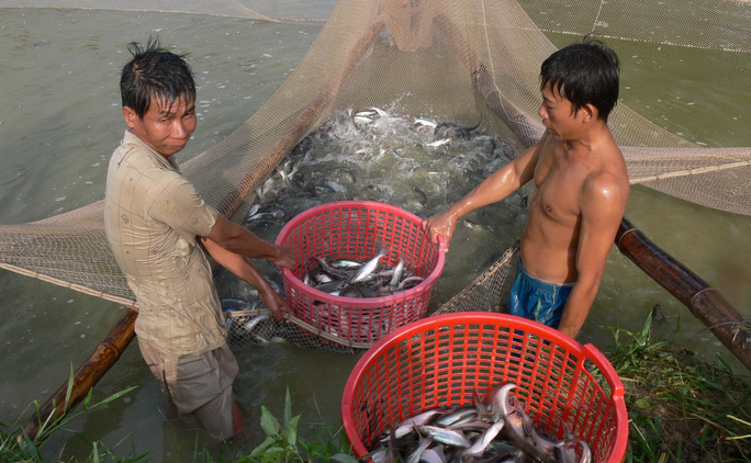 Cá tra giống là một trong những khâu quan trọng quyết định đến chất lượng cá thương phẩm Ảnh: THỐT NỐT