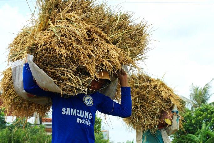 Giá lúa giảm khiến đời sống nông dân gặp nhiều khó khăn Ảnh: NGỌC TRINH