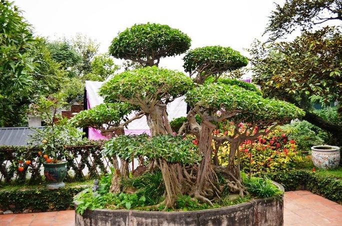 Cây thứ hai là cây xanh cổ 200 tuổi, rất quý cũng xuất hiện trong vườn nhà Báo Sử Trường Sơn