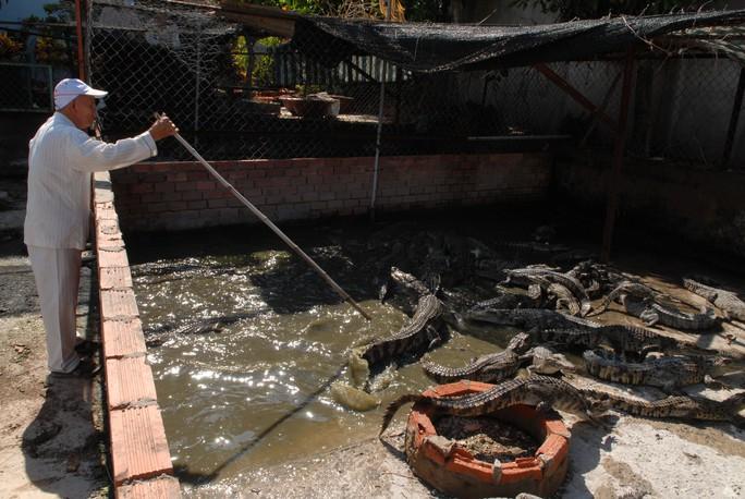 Nghề nuôi cá sấu đang gặp khó do lệ thuộc thị trường. Ảnh: LINH CHI