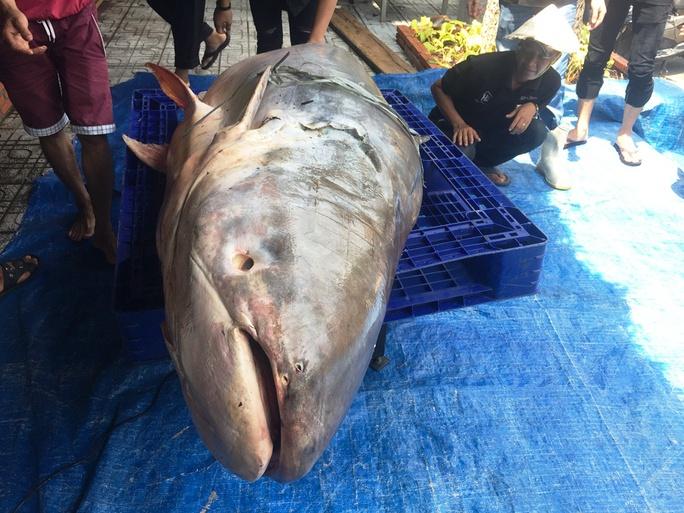 Con cá tra dầu nặng 200kg và dài 2,3m