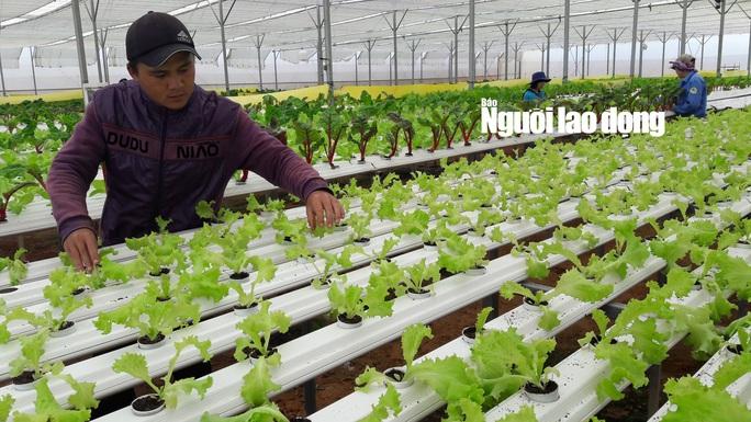Tỷ lệ sống và sinh trưởng tốt của các loại rau thủy canh là 100%, khi cây rau bén rễ bám vào những thanh nhựa sẽ hút chất dinh dưỡng từ nước để phát triển.