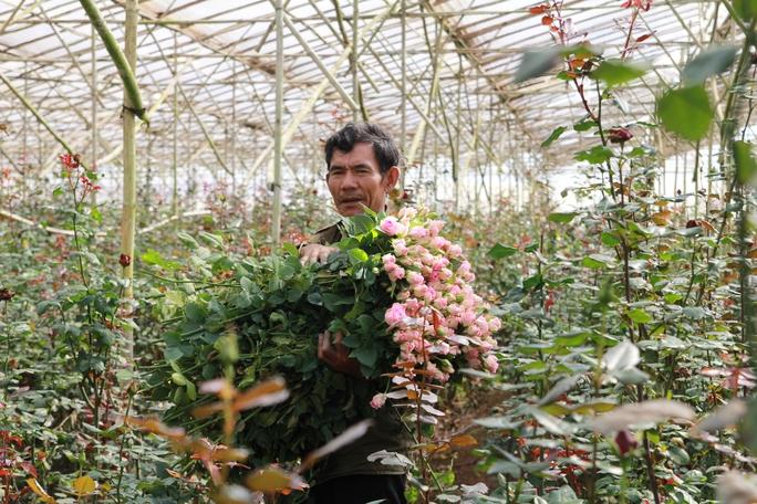 Ông Nguyễn Thành Quả cho biết giá hoa hồng các loại mua tại vườn từ 3.000 - 4.000 đồng/bông.