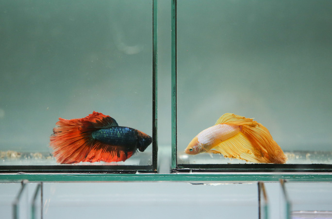 Cá đá hay còn gọi là cá xiêm phổ biến nhất tại khu triển lãm được nhiều dân chơi cá quan tâm. Loại cá này có giá thành rẻ, lại không tốn nhiều thức ăn và dễ chăm sóc