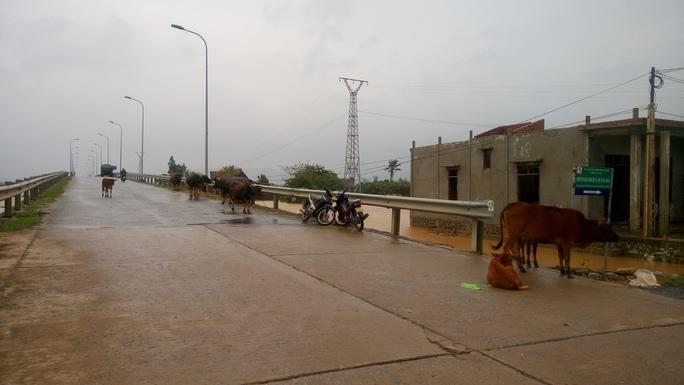 Dọc tuyến đường qua cầu Quảng Hải, người dân đã đưa đàn gia súc lên đường để tránh trú (ảnh Minh Tuấn)