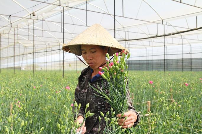 Hoa cẩm chướng cắt tại vườn với giá 1.700 - 2.200 đồng/cành.