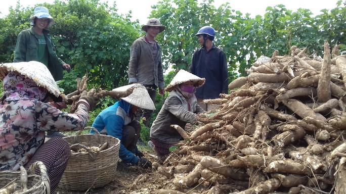 Gieo trồng vất vả nhưng nông dân đành phải cay đắng bán mì với giá thấp kỷ lục