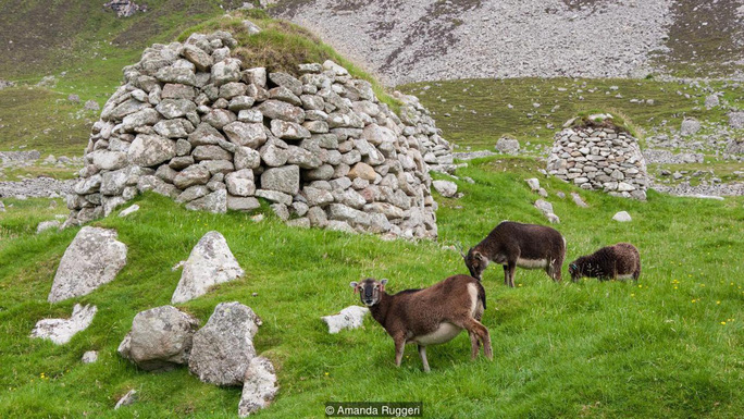 Những con cừu thành thơi gặm cỏ. Ảnh: BBC