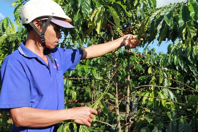 Một cây cà phê ở xã Đinh Trang Hòa, huyện Di Linh, tỉnh Lâm Đồng bị kẻ gian tuốt sạch Ảnh: ĐÌNH THI