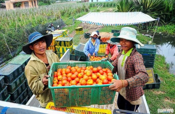 Theo các chủ vựa, cà chua lúc này có giá rất cao (13.000 đồng/kg, giá mua tại vườn), tuy nhiên do bị xoăn lá nên sản lượng rất thấp - Ảnh: Lâm Thiên