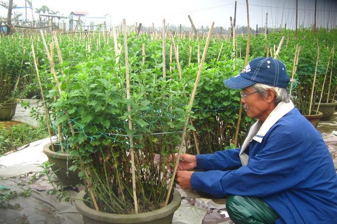 Vườn hoa cúc hơn 400 chậu của ông Lê Đình Thế bị thối rễ hoàn toàn