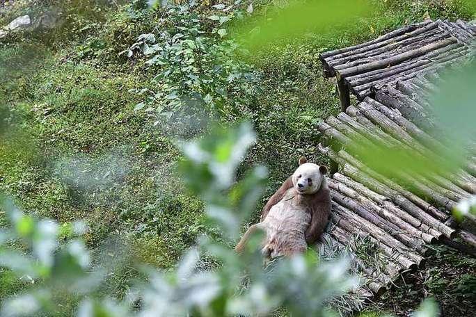 Một vài hình ảnh về chú gấu trúc màu nâu - trắng duy nhất trên thế giới. Ảnh: He Xin