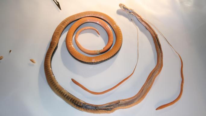 Loài rắn này có tuyến nọc độc dài nhất thế giới. Ảnh: Bryan Fry