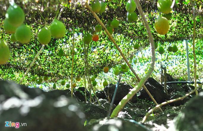 Giàu bất ngờ với vườn gấc trên núi đá ong