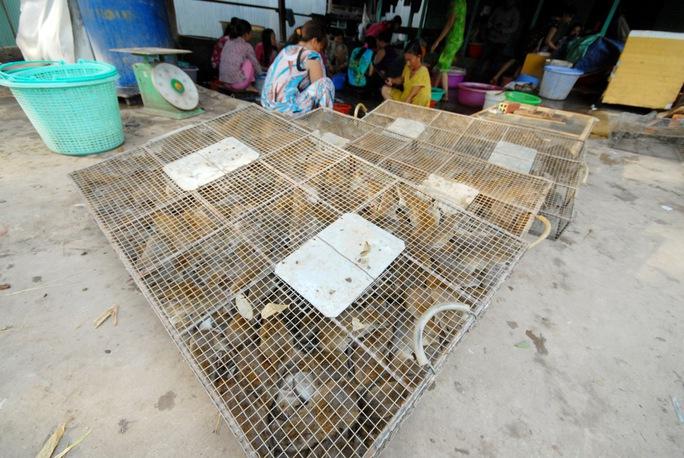 Thương lái thu gom chuột đồng với giá trên dưới 50.000 đồng/kg