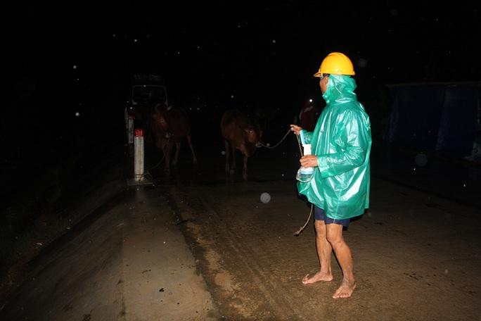 Nước lũ dâng cao trong đêm, nhiều người dân ở huyện Đại Lộc đưa gia súc đi tránh lũ