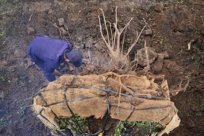Sau đó bọc phần rễ lại bằng vải bố để tránh làm phần đất bị rơi ra