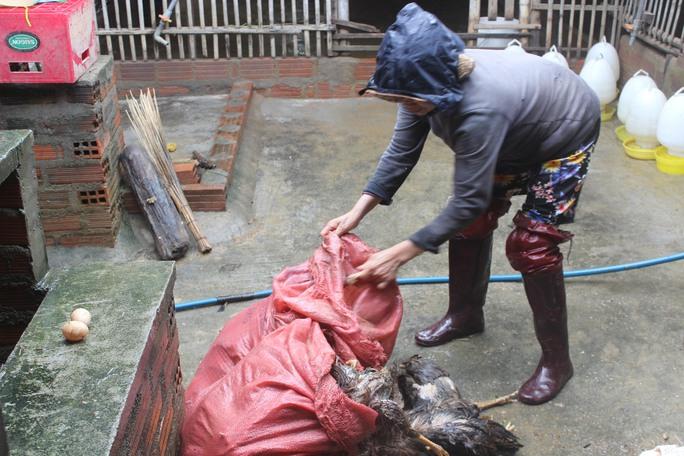 Người dân huyện Tuy Phước thẫn thờ nhặt từng xác gà bị chết trong cơn lũ để vứt đi