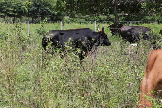 Chú bò tót đen, to lớn bên đàn bò nhà tại vùng đệm rừng Mã Đà