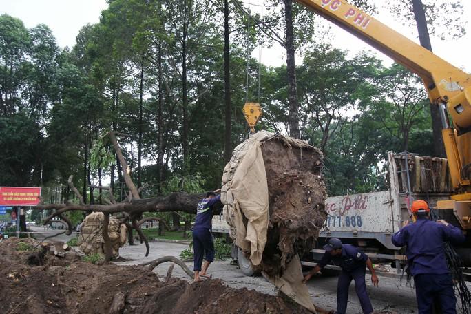 Những cây được di dời được mang về công viên Gia Định (quận Gò Vấp) để dưỡng lại.