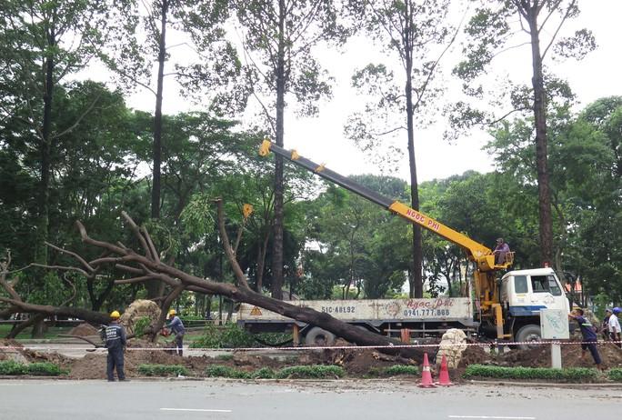 Việc di chuyển được diễn ra trong điều kiện hết sức nghiêm ngặt để bảo đảm an toàn cho cây và người