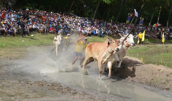 Đôi bò đến từ tỉnh Kiên Giang được tranh tài đầu tiên cùng với đôi chủ nhà.