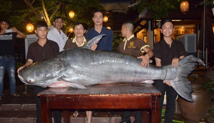 Con cá tra có trọng lượng 200 kg vừa được một nhà hàng nhập về TP Đà Nẵng để bán cho thực khách. Ảnh: Lê Huy