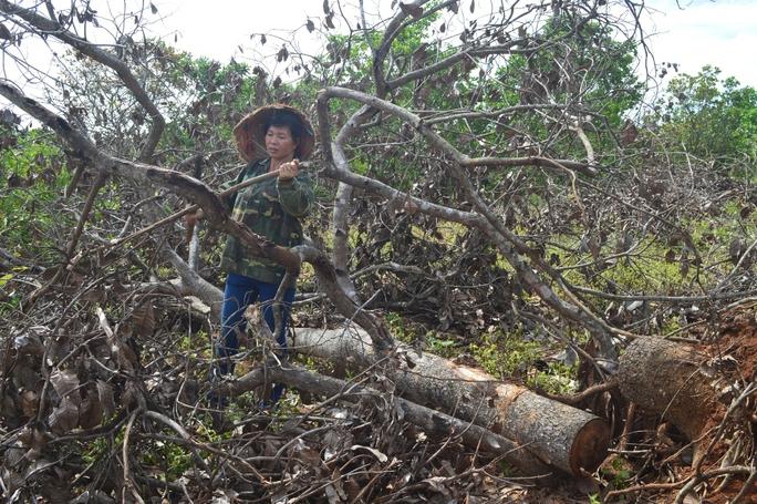 Vườn điều của gia đình bà Mai Thị Khuyên đã bị Công ty TNHH Long Sơn tàn phá