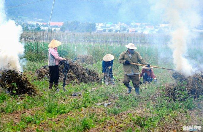 Nông dân đốt bỏ các cây cà chua bị bệnh xoăn lá vì không có thuốc chữa