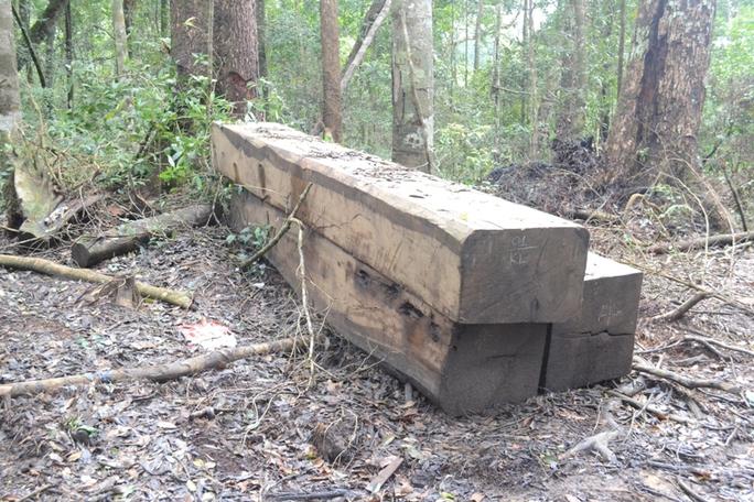 Những lóng gỗ chưa kịp vận chuyển đi tiêu thụ. Ảnh Ngàn Sâu