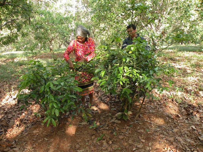 Người Stiêng Bình Phước còn dùng cả lá bép dày dày, mang về giã ra, ủ cho lên men mới cho vào các món nước.