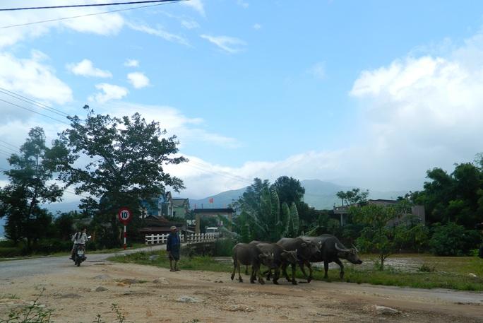Người dân ở rốn lũ Đại Lãnh, huyện Đại Lộc cuống cuồng đưa trâu bò lên núi