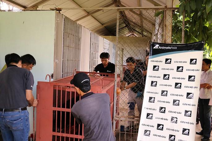 Sáu cá thể gấu sẽ được chuyển về Trung tâm cứu hộ gấu Việt Nam. Ảnh Tổ chức Động vật châu Á cung cấp