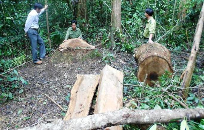 Hiện trường 13 cây gỗ dổi bị chặt hạ - ảnh: TL