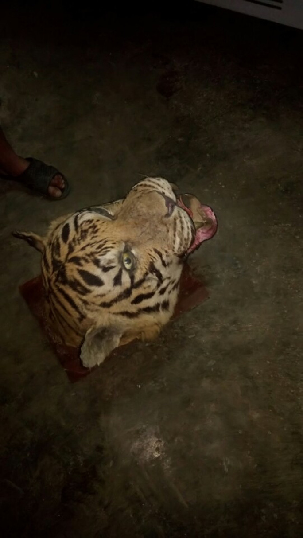 Đầu cá thể hổ bị cơ quan công thu giữ - Ảnh: Cảnh Tiến