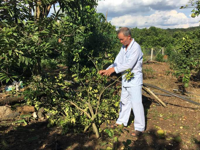 Ông Đa phải chặt bỏ cây bưởi nhiễm bệnh nặng