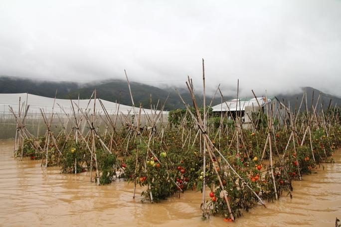 Nước lũ rút dần kéo theo hoa màu vàng úa chết theo, thiệt hại hàng chục tỉ đồng.