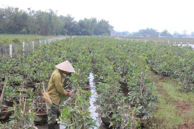 Làng mai Nhơn An, thị xã An Nhơn có diện tích khoảng 350ha bị tiêu điều sau các cơn lũ