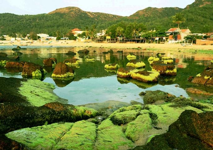 Mùa rêu biển Nhơn Hải đẹp như một bức tranh của thiên nhiên